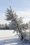 Winter landscape Siberian pine in hoarfrost Stock Photo