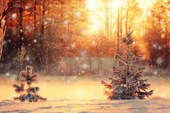 Winter landscape with a small pine and spruce. In the foreground at sunset royalty free stock photos
