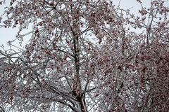 Winter landscape. Small red fruits of the wild Apple trees on the branches in the frost Royalty Free Stock Photo