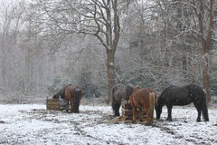 Winter landscape with snow in the countryside. Icelandic horses are eating. Winter landscape with snow in the countryside with horses. Icelandic horses are stock image