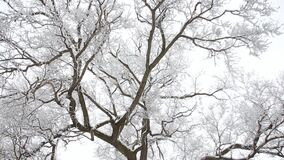 Winter landscape - snow-covered branches of trees against a cloudy sky background. The forest in winter is snow on the trees, the gloomy sky stock video footage