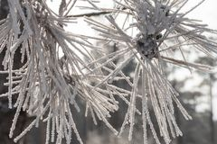 Small twig with frosted fir needles. Winter landscape, snow covered fir trees with small twig of frosted fir needles on foreground, close up Royalty Free Stock Image