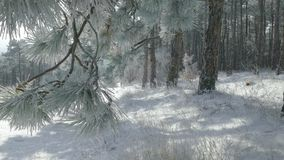 Small twig with frosted fir needles. Winter landscape, snow covered fir trees with small twig of frosted fir needles on foreground, close up stock footage