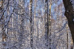 Winter landscape. Snow-covered forest on a Sunny frosty day. Winter landscape, Snow-covered forest on a Sunny frosty day royalty free stock photography