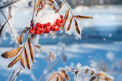 Winter landscape with snow-covered mountain ash Stock Image