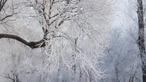 Winter landscape - a snow-covered park with beautiful trees, covered with hoarfrost. A Christmas picture - a winter forest, a sunny day in a fairy-tale park stock video