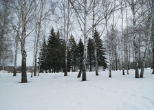 Winter landscape. With snow-covered terrain,birch and spruce Stock Images