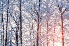 Winter landscape - snow-covered trees along the road in the rays of sunset stock image