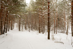 Winter landscape with snow covered trees. Winter landscape in forest with trees covered with snow Royalty Free Stock Image