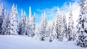 Winter Landscape with Snow Covered Trees on the Ski Hills near the village of Sun Peaks Royalty Free Stock Images