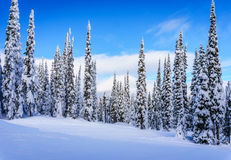 Winter Landscape with Snow Covered Trees on the Ski Hills near the village of Sun Peaks Royalty Free Stock Photo