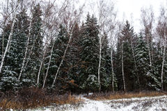 Winter landscape, snow mixed forest. Birch and pine Stock Images