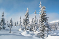 Winter landscape with snow spruces Royalty Free Stock Photo