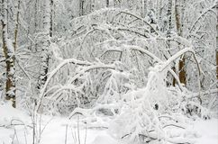 Winter landscape after snow storm. Branches bended by snow Stock Photos