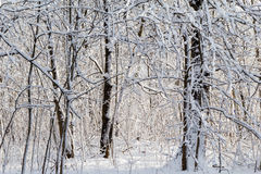 Winter landscape snow thicket forest Stock Images