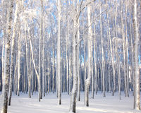 Winter landscape with snowy birch trees Stock Images