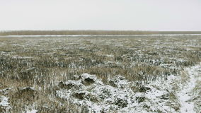Winter landscape. Snowy field, reed in a swamp covered with frost. stock video