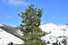 Winter landscape with snowy mountain and pine tree. Blue sky, sunny day. Ancares, Lugo, Galicia, Spain. royalty free stock image