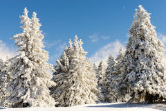 Winter landscape with snowy pine trees Royalty Free Stock Images