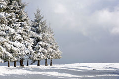 Winter landscape with snowy pines Stock Photography