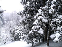 Winter landscape with snowy trees royalty free stock image