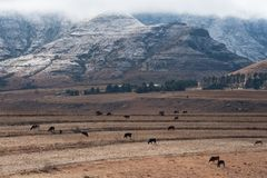 Winter landscape South Africa with snow. Winter landscape Maluti Mountains Lesotho Africa with cattle grazing in the foreground Royalty Free Stock Photography