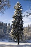 Winter landscape with spruce Stock Photography