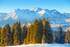 Winter landscape. Spruce forest on blue mountains background. Clear winter morning in mountains. Winter nature stock photo