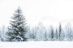 Winter landscape with spruce Royalty Free Stock Photos