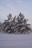 Winter landscape spruce pine trees Stock Photo
