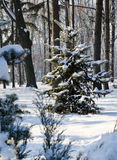 Winter landscape spruce tree in the park Stock Photo