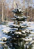 Winter landscape spruce tree in the park Stock Photography