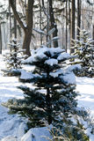 Winter landscape spruce tree in the park Royalty Free Stock Images