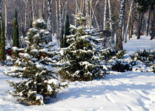 Winter landscape spruce trees in the park Royalty Free Stock Photo