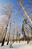 Winter landscape with sun and frozen birch Stock Photo