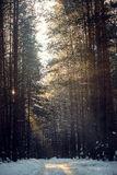 Winter landscape of the sun`s rays through the frosted branches  the trees in pine forest. Winter landscape of the sun`s rays through the frosted branches of the Royalty Free Stock Images