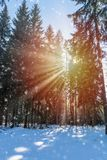 Winter landscape with a sunburst and falling snow. Winter landscape with a fiery sunburst with golden rays of light shining through the trees in a pine forest Royalty Free Stock Image