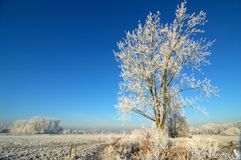 Winter Landscape on Sunny Day. Frosty, snow-covered tree against a brilliant blue sky on a sunny winter day stock photos