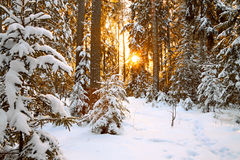 Winter landscape with sunset in the forest Stock Photos