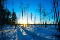 Winter landscape at sunset in the woods. Tracks from  Rover on  snow. Royalty Free Stock Image