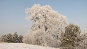 Winter landscape. Towering over the area more than a century Poplars covered with rime Royalty Free Stock Photos