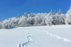 Winter landscape. Footprints on a snowy field lead to the edge of the forest on a sunny winter frosty day. Winter landscape. The tracks on the snow-covered stock photo