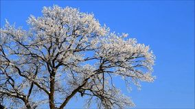 Winter landscape tree in hoarfrost against blue sky stock video footage
