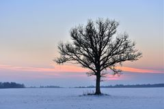 Alone tree in a field . Winter season. Royalty Free Stock Images