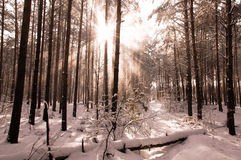 Winter landscape, trees covered in snow Stock Image