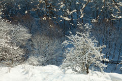 Winter landscape, trees covered in snow Stock Images