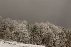 Winter landscape with trees. Winter landscape with dense trees Royalty Free Stock Photo