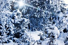 Winter landscape: trees in the forest, densely covered with snow. _n royalty free stock photography