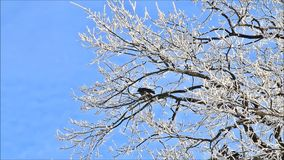Winter landscape trees in hoarfrost stock video footage