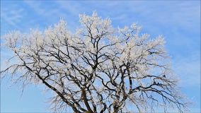 Winter landscape, trees in hoarfrost. Landscape in winter, trees in hoarfrost stock video